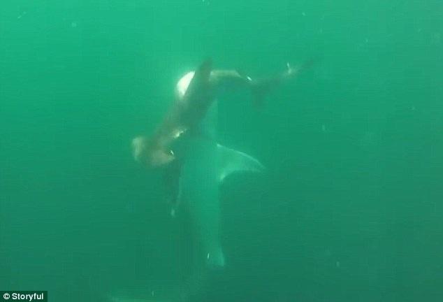 Màn chiến đấu giữa hai con cá mập