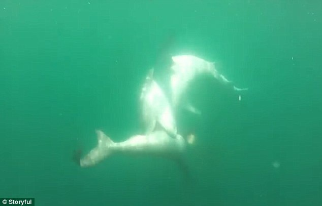 Cá mập hổ chiếm ưu thế hơn so với đối thủ