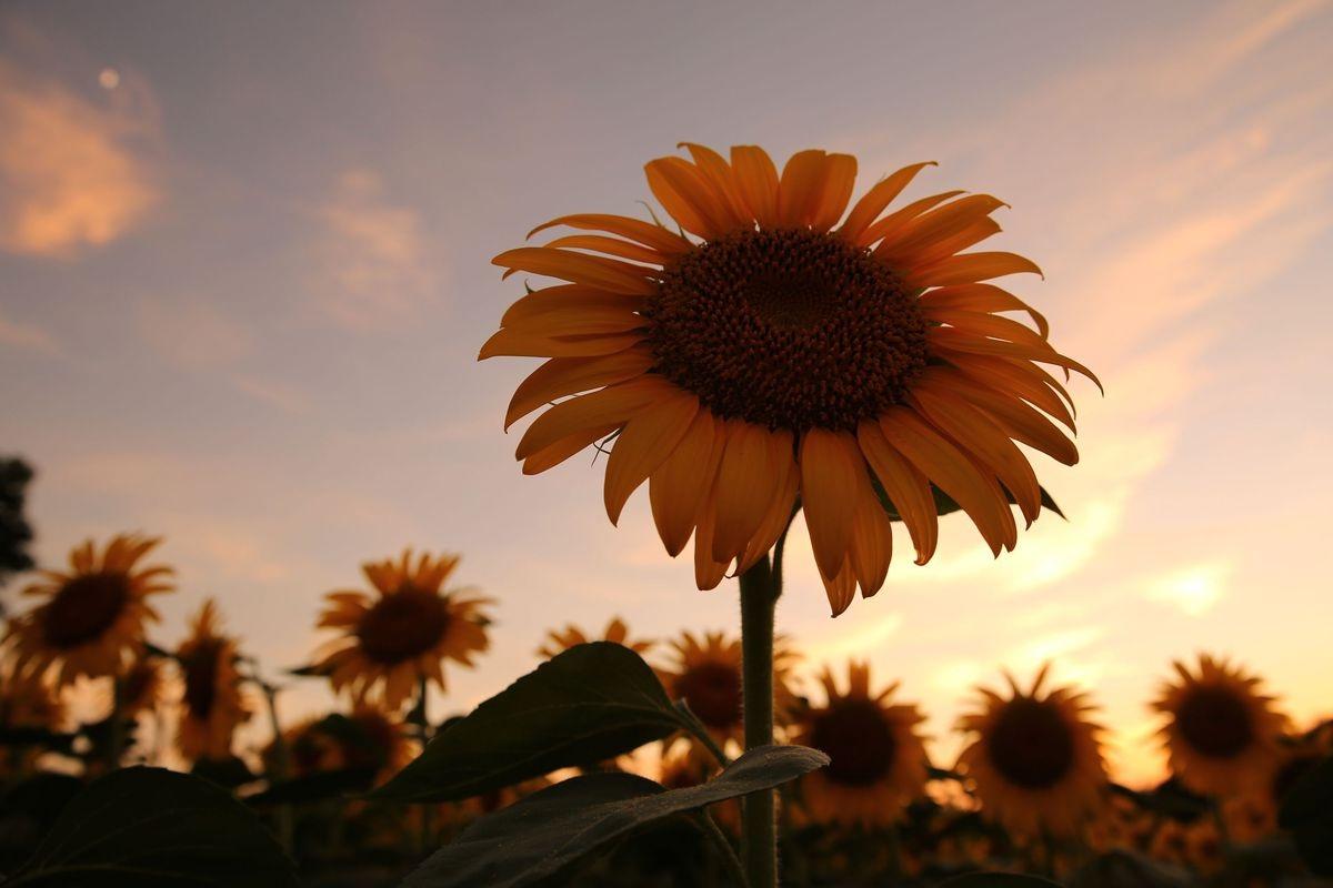 Hoa hướng dương vẫn rực rỡ dưới ánh chiều tà