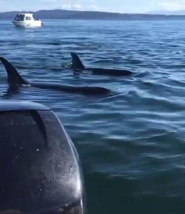 Bầy cá voi sát thủ 12 con săn đuổi con hải cẩu
