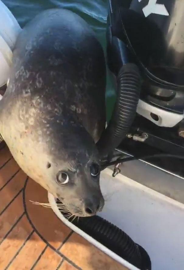 Hải cẩu nằm trên tàu chừng hơn nửa tiếng