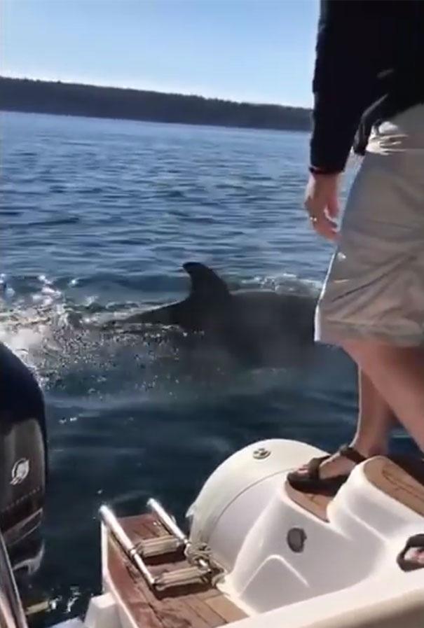 Sau khi đàn cá voi sát thủ bỏ đi, hải cẩu cũng nhảy xuống nước trong sự cổ vũ của du khách trên thuyền