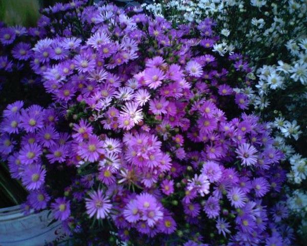 """Những loài hoa """"gọi"""" mùa thu về - 8"""