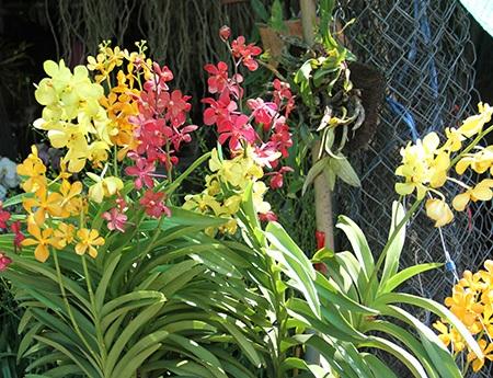 Hay Địa Lan, được mệnh danh là chúa tể của các loài hoa, có giá dao động 5 - 7 triệu đồng/chậu