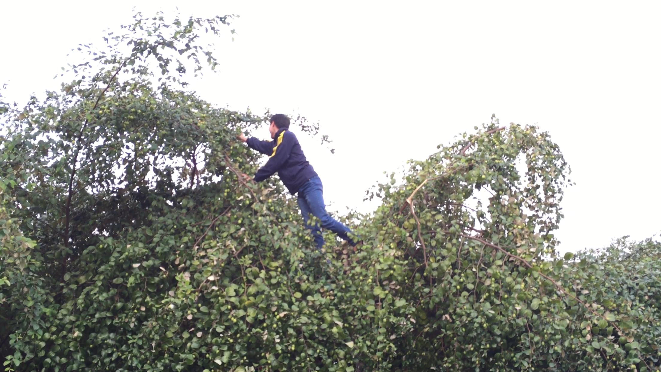 Nhiều bạn trẻ nghịch ngợm, trèo cả lên cây để vặt được quả ưng ý.