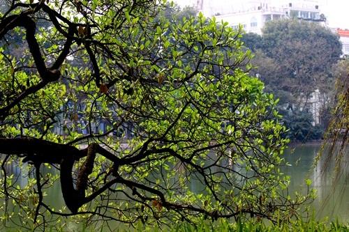 Muốn cảm nhận rõ hơn được khoảnh khắc giao mùa mong manh ấy, thời gian này bạn có thể dạo quanh Hồ Gươm ngắm những hàng cây hít thở không khí giao mùa rồi hòa vào đất trời nơi đây.