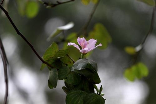 Sắc hoa ban nhuộm tím trời Hà Nội - 1