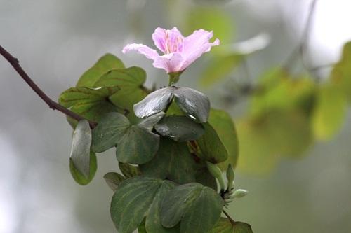 Hoa ban vốn là sản vật của núi rừng Tây Bắc, nhưng thời gian gần đây khi những cây ban được mang về Hà Nội, trổ bông làm cho phố phường ngày càng đẹp hơn. Ảnh Hữu Thắng