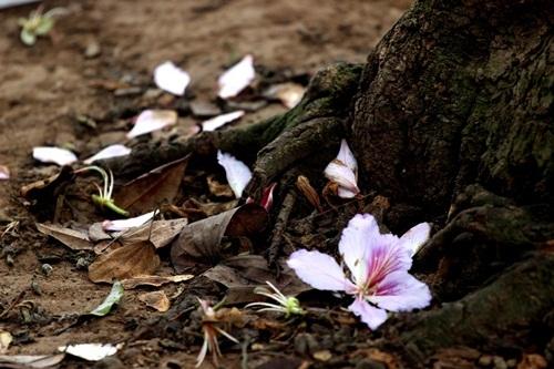 Sắc hoa ban nhuộm tím trời Hà Nội - 6