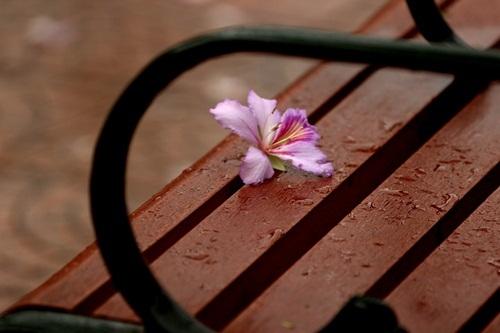 Sắc hoa ban nhuộm tím trời Hà Nội - 8