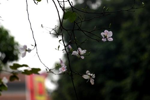Sắc hoa ban nhuộm tím trời Hà Nội - 7