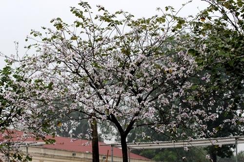 Sắc hoa ban nhuộm tím trời Hà Nội - 9