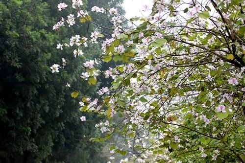 Sắc hoa ban nhuộm tím trời Hà Nội - 3