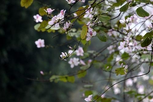 Sắc hoa ban nhuộm tím trời Hà Nội - 13