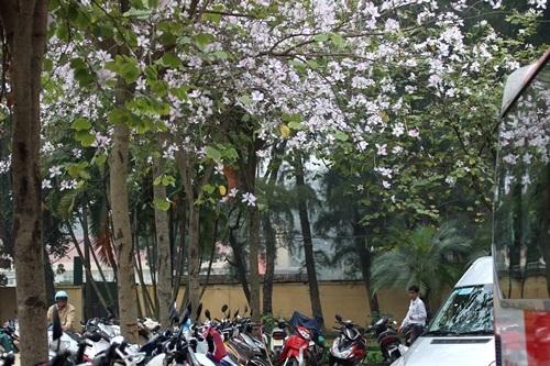 Đường Hoàng Diệu ngập sắc tím của hoa...
