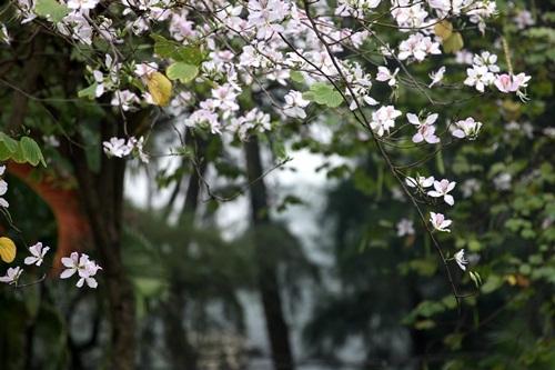 Cây Ban thân mộc, không mọc thẳng mà khẳng khiu, uốn khúc chia cành phân nhánh như những bàn tay nhẹ nhàng nâng những cánh hoa khoe với đất trời tháng 3. Ảnh Hữu Thắng