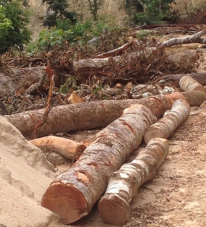 Những cây gỗ lớn đã bị triệt hạ đưa ra nhưng vẫn không có dấu búa của kiểm lâm...