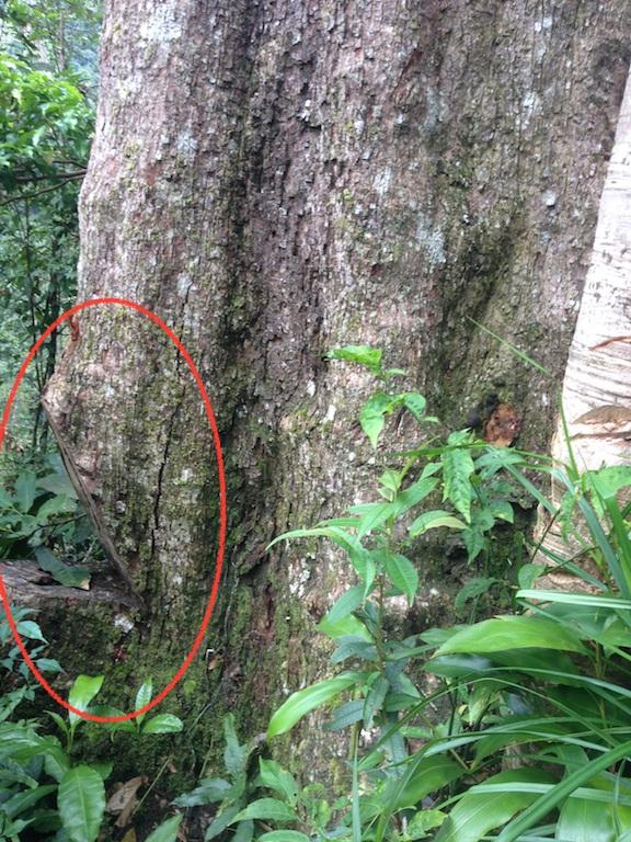 Một cây Sến cổ thụ dù cách xa khu vực chịu ảnh hưởng của quá trình thi công đường nhưng cũng đang bị chiếu tướng