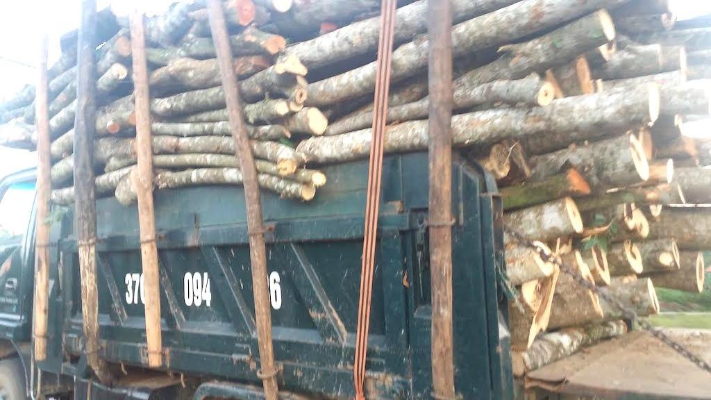 Một chiếc xe chở keo quá tải còn nêm cả những thân cây để chất đầy hơn.