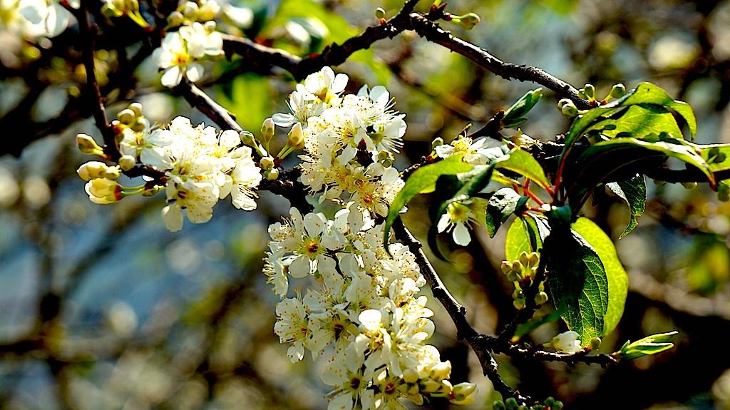 Đẹp ngất ngây hoa mận nở trắng trên cổng trời Mường Lống - 20