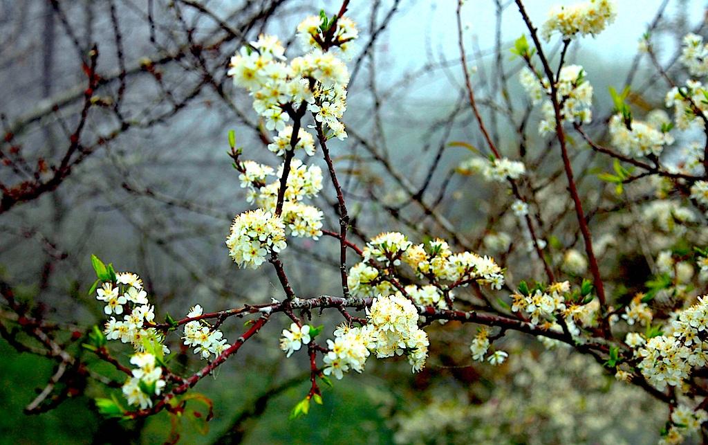 Đẹp ngất ngây hoa mận nở trắng trên cổng trời Mường Lống - 3