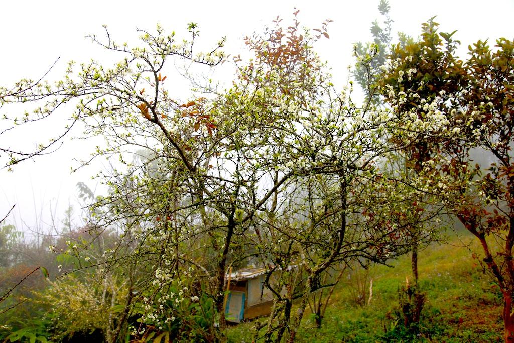Đẹp ngất ngây hoa mận nở trắng trên cổng trời Mường Lống - 13