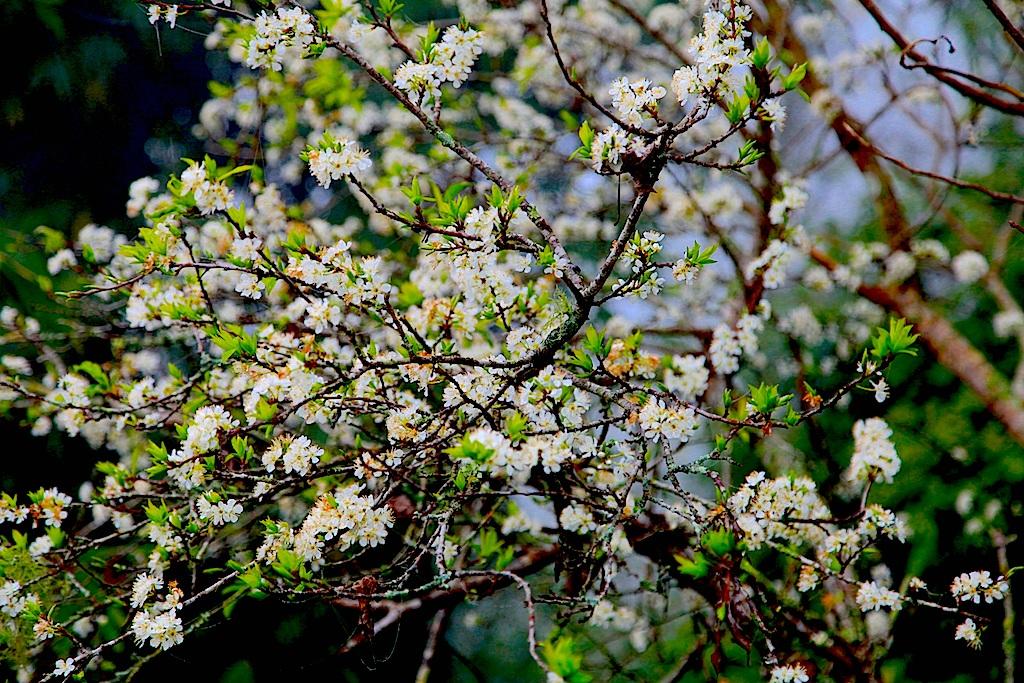 Đẹp ngất ngây hoa mận nở trắng trên cổng trời Mường Lống - 14