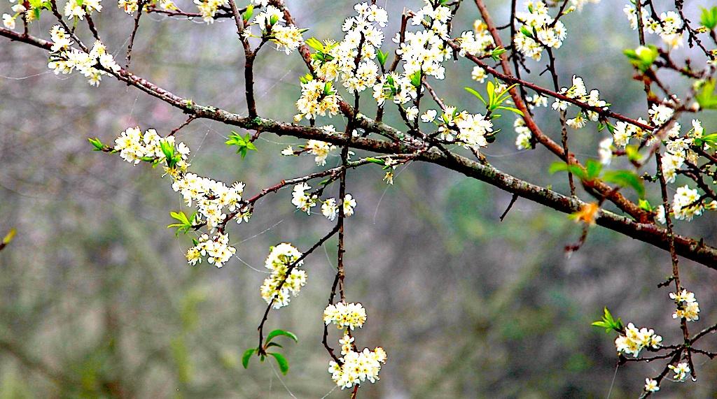 Đẹp ngất ngây hoa mận nở trắng trên cổng trời Mường Lống - 2