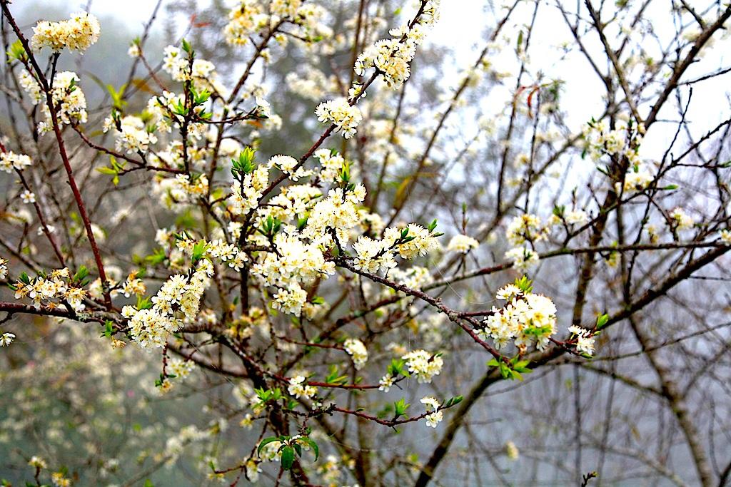Đẹp ngất ngây hoa mận nở trắng trên cổng trời Mường Lống - 10
