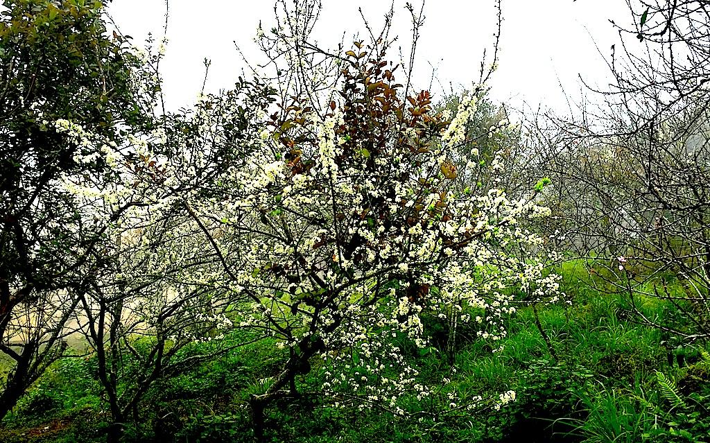 Đẹp ngất ngây hoa mận nở trắng trên cổng trời Mường Lống - 4