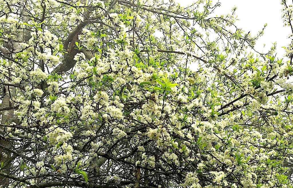 Đẹp ngất ngây hoa mận nở trắng trên cổng trời Mường Lống - 5