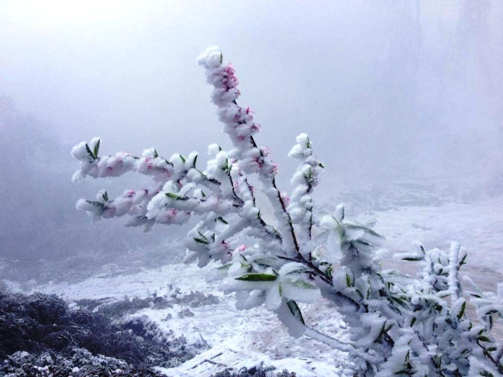 Một cành hoa đào bị tuyết phủ trắng.