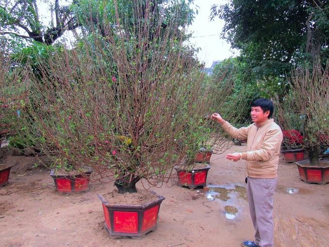 Chủ cửa hàng cây đào ông Công Vinh trên đại lộ Lê Nin đang chăm sóc cây đào ưng ý nhất của mình. Giá của gốc đào này là 15 triệu đồng, mức giá khá cao so với các gốc khác.