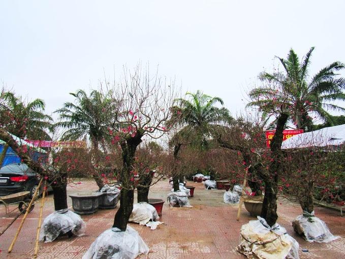 Những gốc đào Nhật Tân này sẽ có giá không dưới 20 triệu đồng, vì đây là những gốc được trồng lâu năm và có sức sống cao.