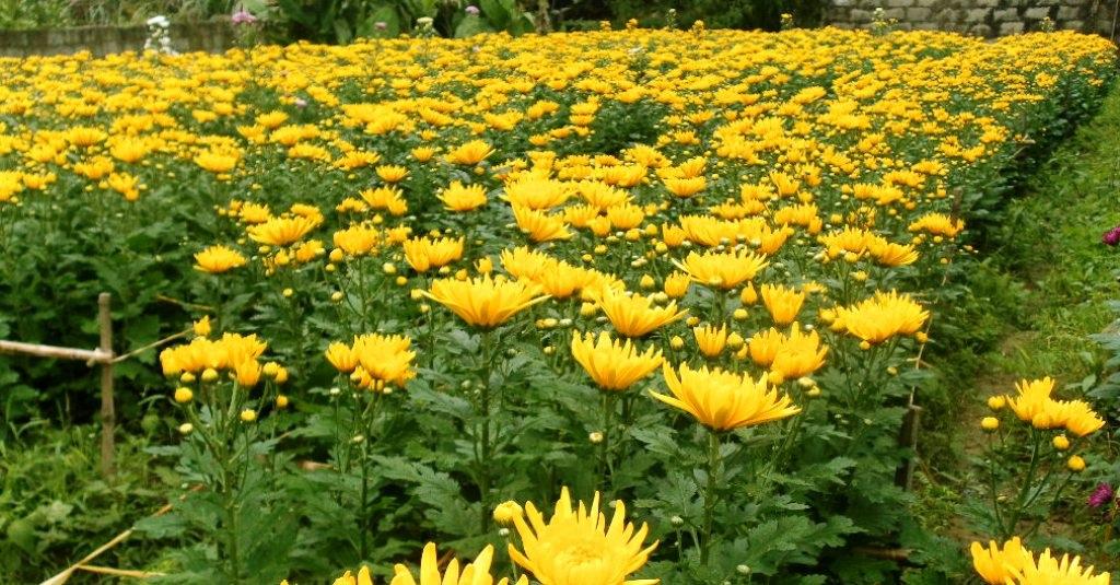 Chúm chím hoa Tết cười chào gió đông - 12
