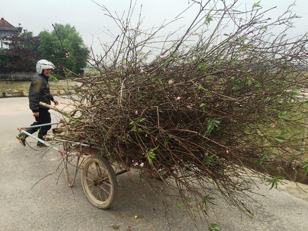 Cứ như thế, đào phai Kim Thành được vận chuyển khắp mọi nơi để mang sắc xuân đến cho mọi nhà.