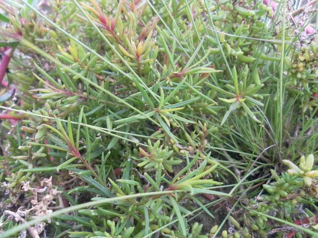 Rau nhót mọc rải rác trên cánh đồng muối mặn.