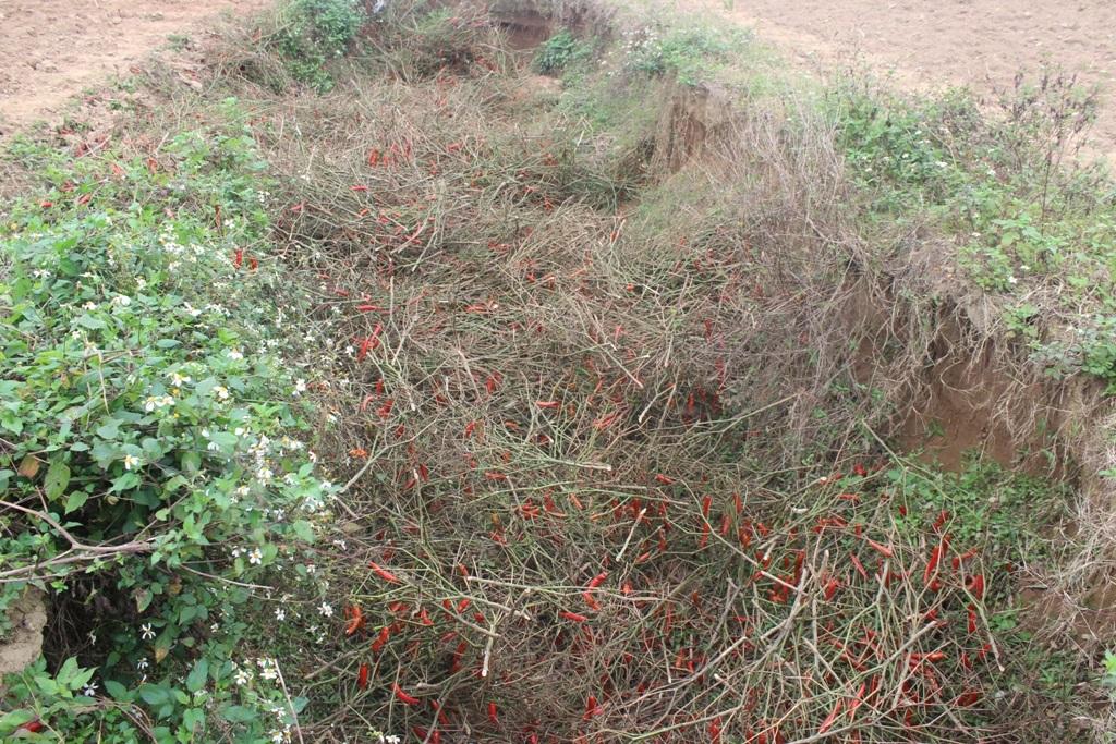 Không còn mặn mà với cây ớt cao sản, nông dân Anh Sơn đã phá bỏ và đào hố chôn.