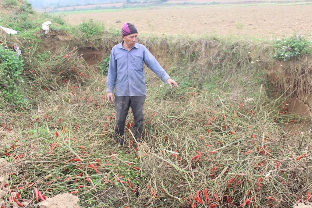 Gia đình ông Minh không còn mặn mà với cây ớt nên đã đào hố chôn lấp như thế này.