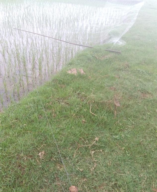 Công đoạn săn bắt chim én trên các cánh đồng vẫn còn dùng phương pháp thủ công là đánh bắt dạng lưới.