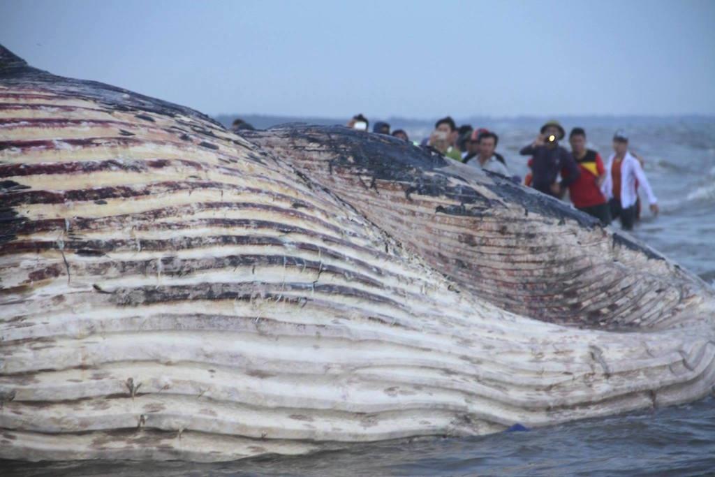 Xe chở cá voi không thể nhúc nhích vì... quá nặng - 9