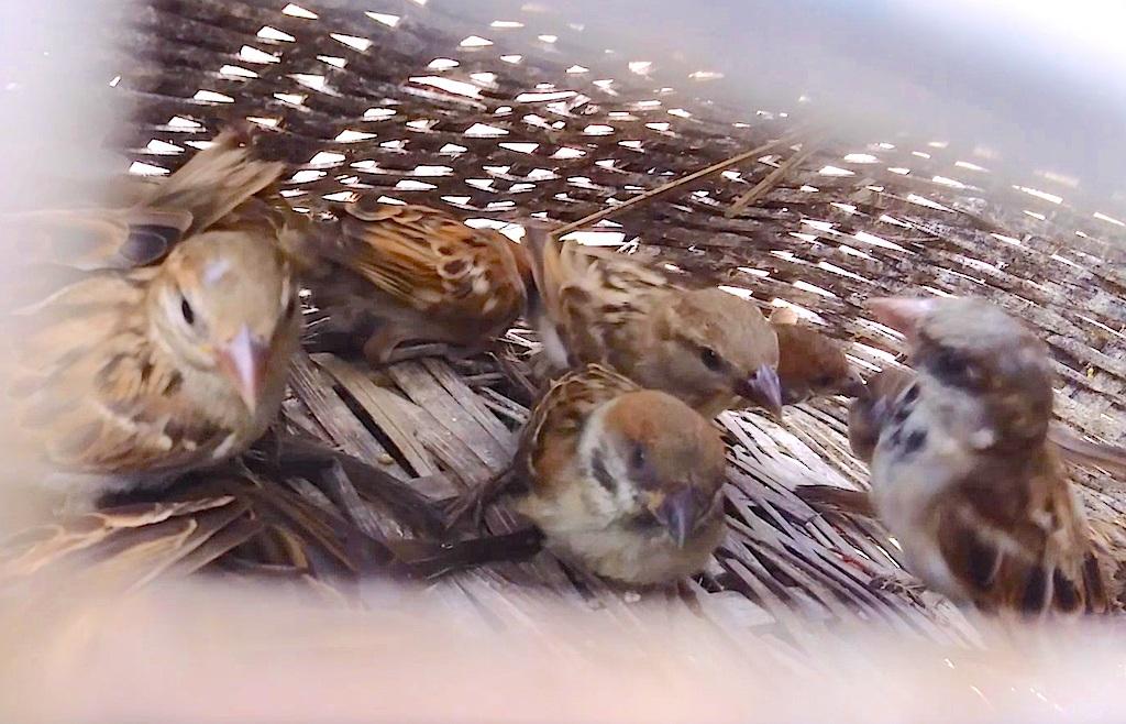 Hàng loạt chim sẻ đã vào lồng.