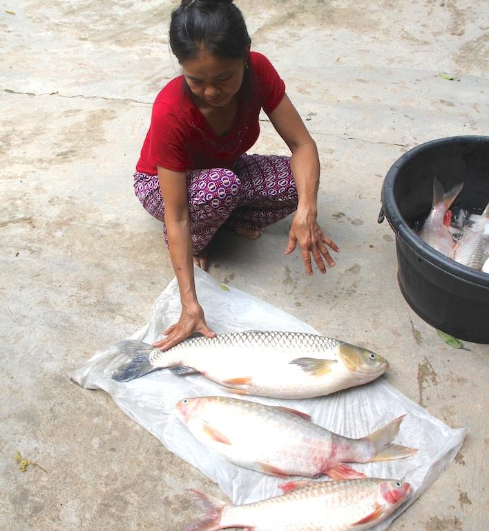 Cá bọp, cá trắm chết hàng loạt được người dân vớt về nhà.