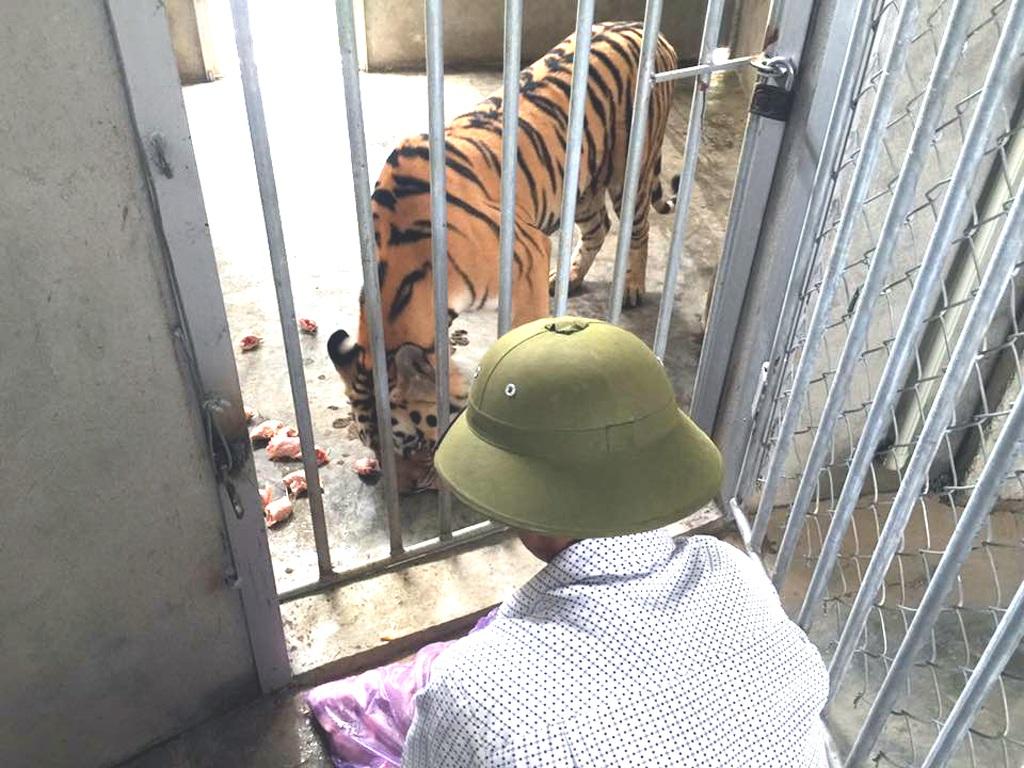 Người chăm sóc hổ tại khu sinh thái Hòn Nhạn.