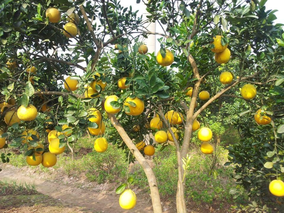 Bưởi Diễn có nguồn gốc từ làng Phú Diễn (Từ Liêm, Hà Nội) thường được thương lái và người sành ăn đặt hàng từ trước Tết hàng tháng trời. Giá loại quả đặc sản này trước Tết hai tháng, mua tại vườn, hiện khoảng 30.000-50.000 đồng/quả.