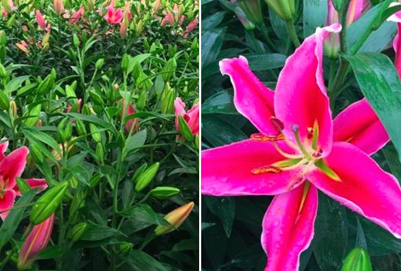 Nhiều người trồng hoa tại làng Đăm (Tây Tựu, Từ Liêm) xót xa nhìn hoa ly nở sớm khi phải còn gần 1 tháng nữa mới đến Tết.