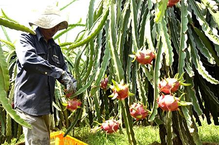 Nông dân đang chăm sóc một vườn thanh long chuẩn bị đến mùa thu hoạch.
