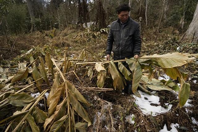 Trận mưa tuyết lịch sử vào cuối tháng 1/2016 đã gây thiệt lại rất lớn về kinh tế đối với bà con vùng cao huyện Bát Xát (tỉnh Lào Cai), trong đó thiệt hại nặng nề về diện tích trồng cây thảo quả. Thảo quả đổ rạp hàng loạt, nhẹ thì gục trên mặt đất, nặng thì cây gãy ngang thân, sẽ dần chết khô sau một tháng. Trong ảnh là anh Tráng A Lủ thôn Lao Chải xót lòng nhìn vườn thảo quả bị chết khô, đổ rạp do mưa tuyết (Ảnh: Phạm Ngọc Triển)