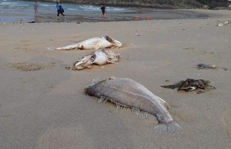 Cá chết nằm dọc bờ biển với số lượng lớn đã gây tâm lý hoang mang cho người dân (Ảnh: Tiến Hiệp).