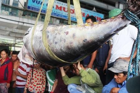 Cho rằng con cá ngừ vây xanh nặng 307kg là lớn nhất ở Việt Nam từ trước tới nay, chủ tàu cá ở TP Nha Trang (Khánh Hòa) đã quyết định đăng ký xác lập Kỷ lục Việt Nam (Ảnh: Viết Hảo)